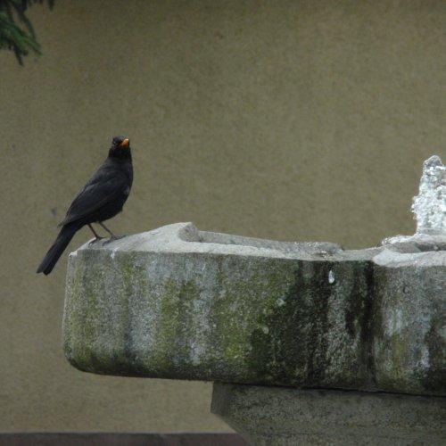 Taťka kosák vlaží zobák.