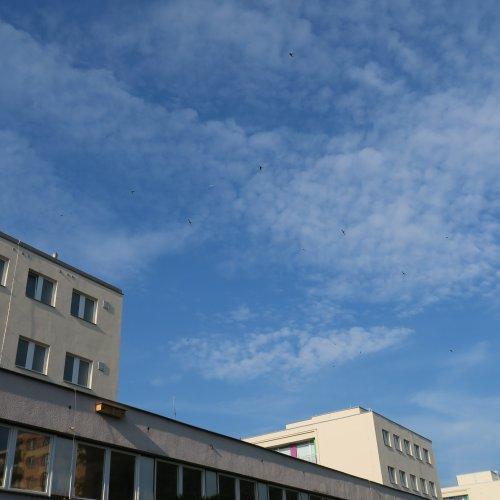 """Rorýsí """"sídliště"""" scelkem více než padesáti bytovými jednotkami ve fasádách naší školy a nebe plné rorýsů. (jaro2016)"""
