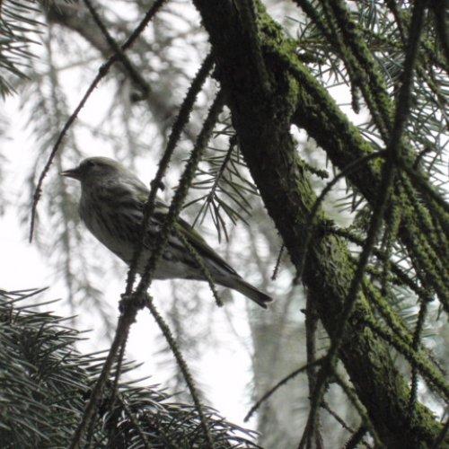 Samička čížka lesního odpočívající na smrku u našeho krmítka