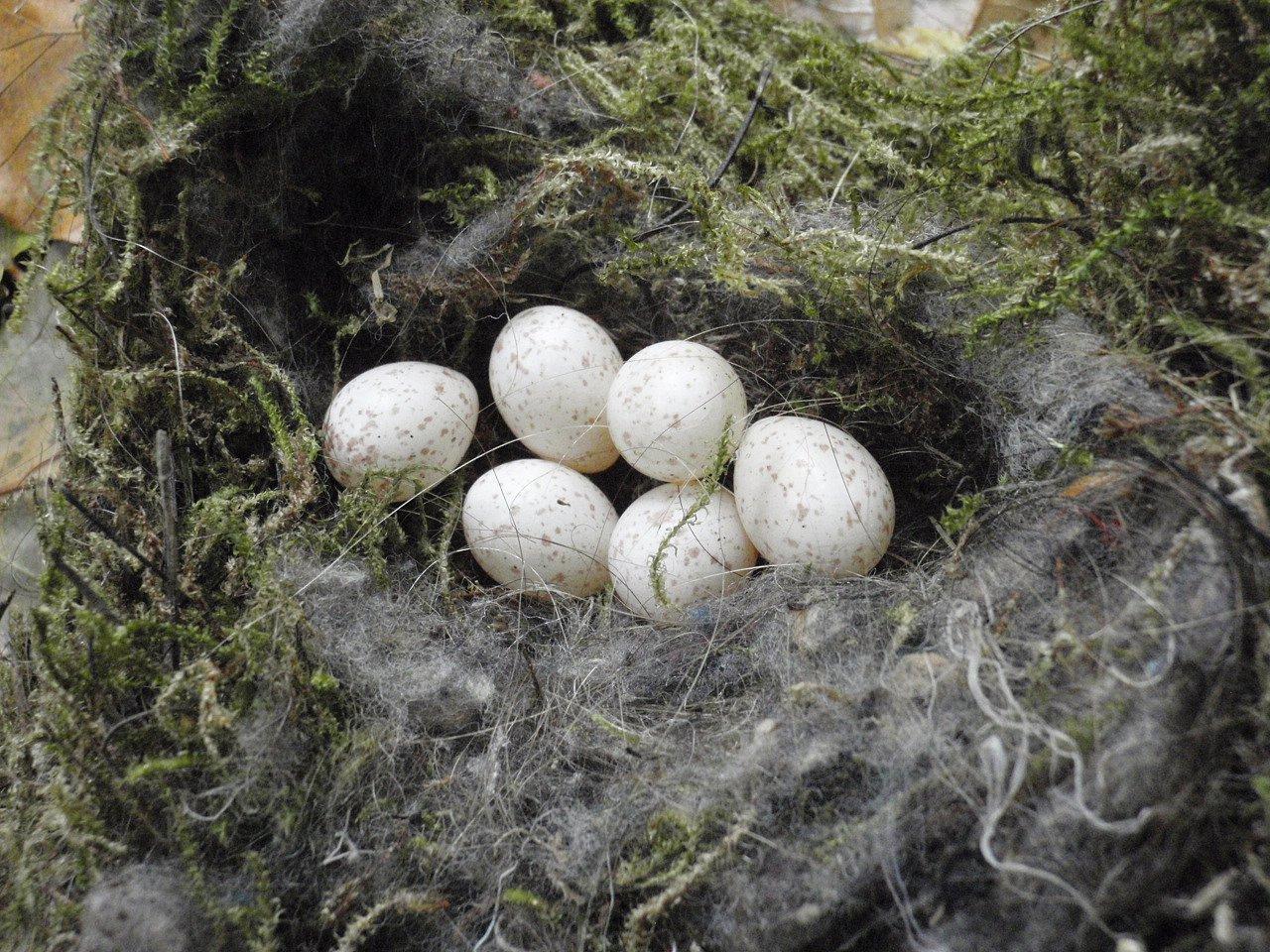 Tuto snůšku vajíček jsme objevili vjednom sýkorníku ve světelském parku během čištění budek vříjnu 2015.Možná potkalo ptačí rodiče nějaké neštěstí, možná šlo opozdní snůšku, kterou opustili. Bílá vajíčka sčervenými skvrnami mají délku 17mm.