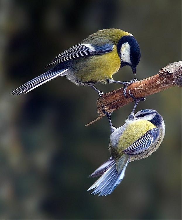 """Koňadře modřinka raději vyklidí pozice– imezi ptactvem platí heslo, že moudřejší ustoupí, """"Zdroj a licence""""((Parus major & Cyanistes caeruleus 1, Autor: Martin Mecnarowski (http://www.photomecan.eu/), Dostupné z:https://commons.wikimedia.org/wiki/File:Parus_major_%26_Cyanistes_caeruleus_1_%28Martin_Mecnarowski%29.jpg [cit. 2016–01–22], CC BY-SA 3Unported https://creativecommons.org/licenses/by-sa/3.0/deed.cs))"""