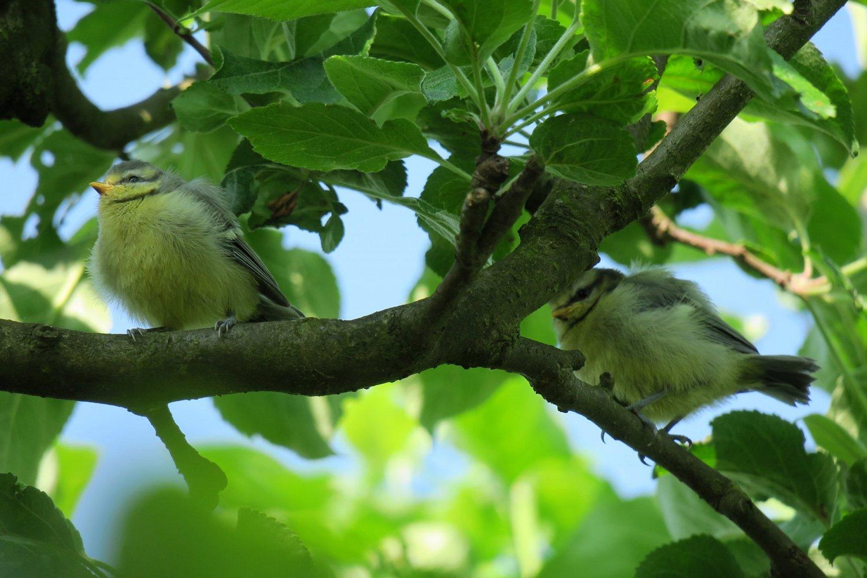 Již odrostlejší mláďata opouštějí budku a pohybují se vkorunách stromů nebo vkřoví a čekají na přílet rodičů spotravou. Od dospělých modřinek se mláďata liší žlutým zbarvením na tvářích a šedou barvou později modrých peříček na temeni.