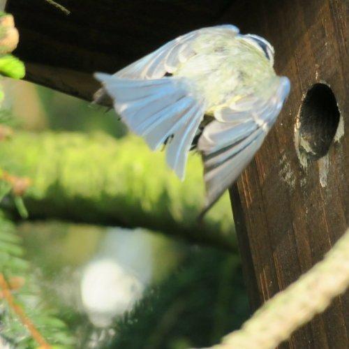 Aznovu míří do hnízda sdalší dobrotou pro mláďata.