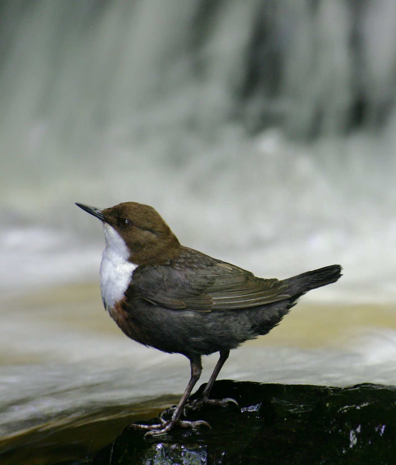 "Skorec u vodopádu, ""Zdroj a licence""((Eurasian White-fronted Dipper, C cinclus, Autor: Andrew2606, Dostupné z:https://commons.wikimedia.org/wiki/File:Eurasian_White-fronted_Dipper,_C_cinclus.JPG [cit. 2016–01–22], CC BY 3 Unported https://creativecommons.org/licenses/by/3.0/deed.cs))"