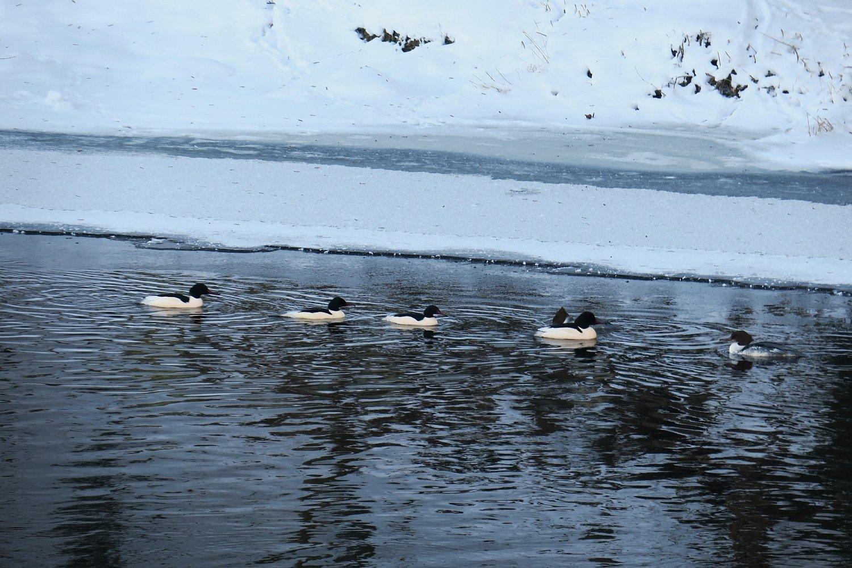 Morčáci navštívili Světlou n. S. ivroce 2017.Na fotografii z11.1.2017 po hladině Sázavy plují čtyři samci a dvě samice.