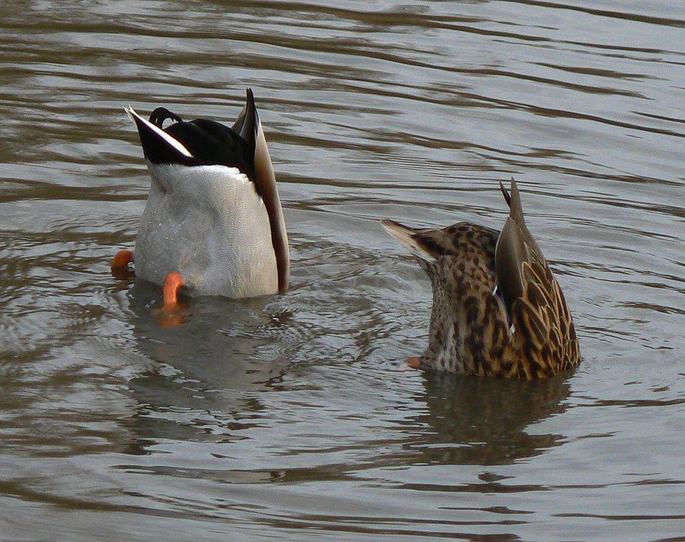 """Zajímavá pozice pro občerstvení, ale kdo umí, ten umí , """"Zdroj a licence""""((Ducks eating, Autor: Neil Phillips, Dostupné z: https://commons.wikimedia.org/wiki/File:Ducks_eating.jpg [cit. 2016–02–13], CC BY 2.0Generic https://creativecommons.org/licenses/by/2.0/deed.cs))"""