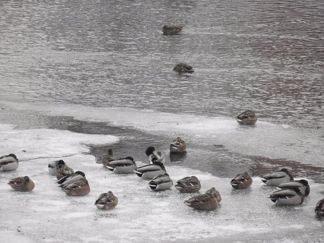 """Velké mrazy tráví kachny """"sbalené"""" do co teplotně nejúspornější pozice."""