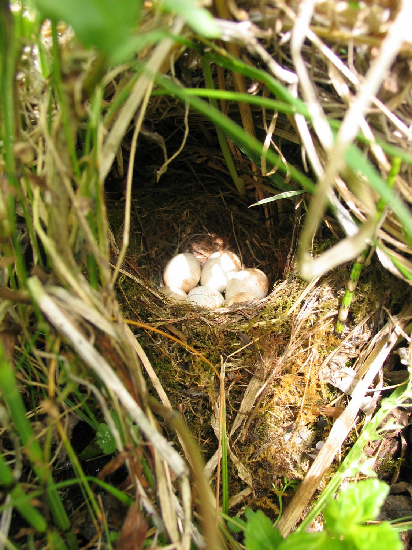 "Typicky umístěné červenčí hnízdo svajíčky, ""Zdroj a licence""((Erithacus rubecula-eggs, Autor: Yerpo, Dostupné z: https://commons.wikimedia.org/wiki/File:Erithacus_rubecula-eggs.jpg [cit. 2016–04–04], CC BY-SA 2.5Generic https://creativecommons.org/licenses/by-sa/2.5/deed.cs))"