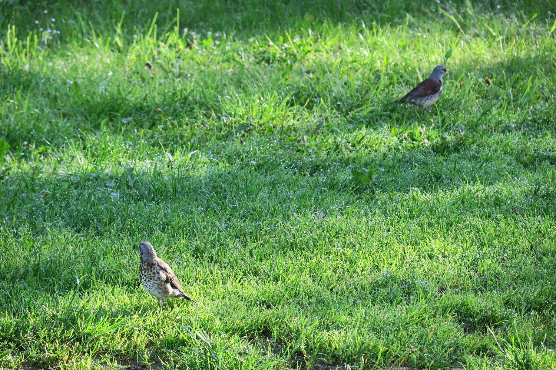 Společně na lovu– tedy loví spíše rodič vpravo, mládě (vlevo vepředu) se nechává krmit. Světlá n. S. 11.5.2016
