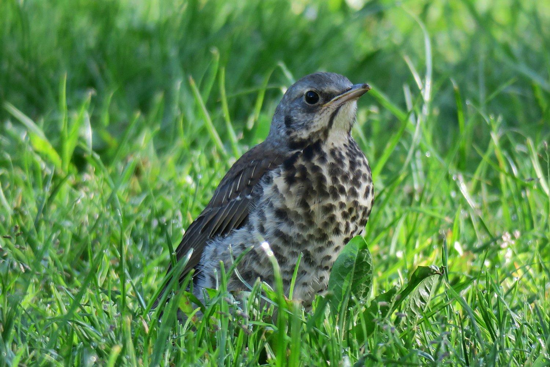 Odrostlé mládě ve věku cca tří až čtyř neděl, které doprovází svého rodiče při lovu potravy. Světlá n. S. 11.5.2016