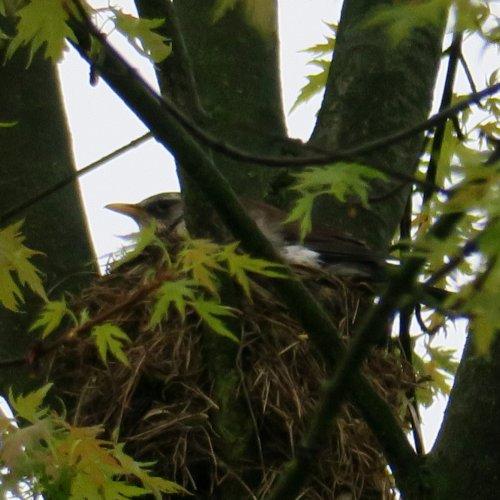Začátkem května 2017bylo hodně chladné a deštivé počasí, a tak kvíčalí ptáčata, kterým teprve vyrůstala pírka, stále zahříval jeden zrodičů.