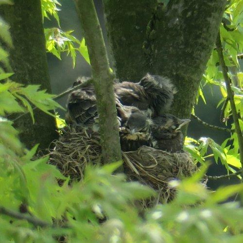Po nakrmení posedávaly po okraji hnízda a odpočívaly.