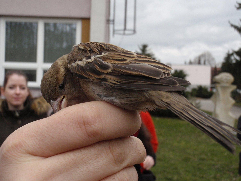 Samička vrabce domácího se zachytila vsíti během kroužkování na jaře 2016a nehodlala se vzdát zadarmo. Po většinu doby, kdy jí držel pan ornitolog vruce, byla zaštípnutá silným zobanem do jeho prstu. (21.3.2016)
