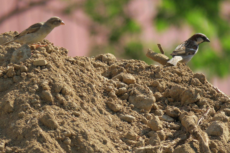 Párek vrabců domácích při hledání potravy na kopcích zeminy vyhrnuté při opravě kanalizace vokolí školních budov. (21.7.2016)
