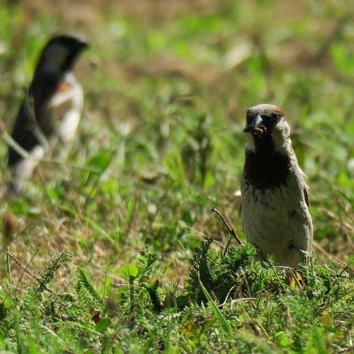 Dvojice samečků při sběru potravy v trávníku vedle školy. (21. 7. 2016)