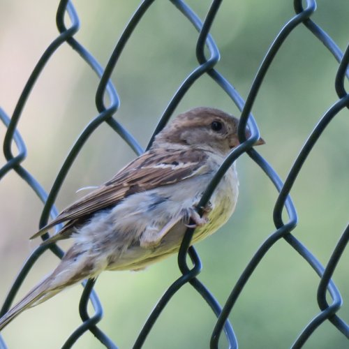 Samička vrabce domácího odpočívá na plotě vedle travnatého hřiště. (21. 7. 2016)