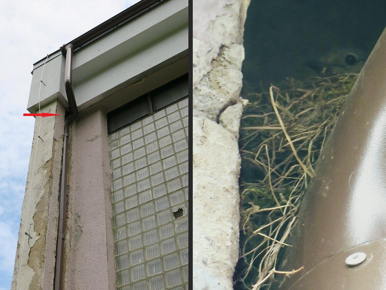 Samička rehka postavila své hnízdo vdutině nad okapovou rourou pod střechou JZ rohu naší tělocvičny.