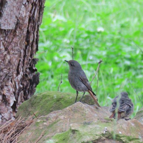 Exkurze části rehčí rodinky (samička + mládě) do přírodní zahrady. 27. 6. 2016 Světlá n. S.