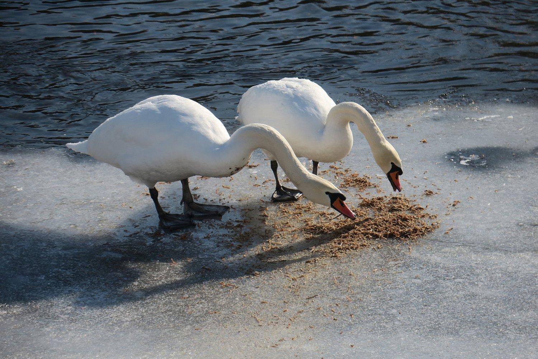 Takto se labutě vrhli na podobnou směs 14.2.2017 za asistence dětí zMŠ Lánecká.