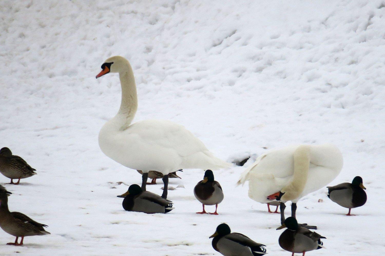 Péči osvé peří věnují labutě spoustu času a dokáží přitom zaujímat neuvěřitelné pozice. Ledeč n. S. 4.2.2017