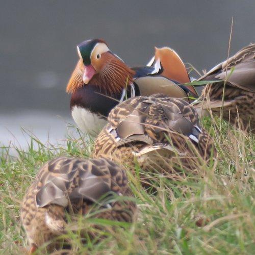Odva dny později už kačírek prohledával spolu se samičkami kachen divokých břehy řeky a pásl se snimi na okolní trávě. (Světlá n. S. 8.12.2017)