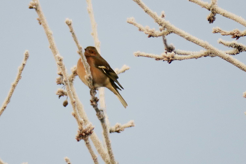 """Přezimující sameček riskuje zdejší zimu snadějí, že na jaře """"urve"""" lepší místo pro hnízdění. (Ledeč n. S. 4.12.2016)"""