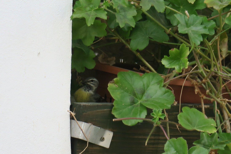 Samička dorazila do hnízda splným zobáčkem krmení. Světlá n. S. 1.6.2017