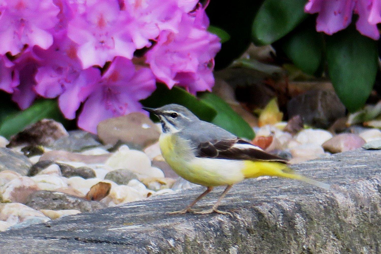 Samička má bledší bříško a pod zobáčkem jen pár šedých pírek. Světlá n. S1.6.2017