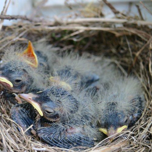 Očtyři dny později již měla ptáčata otevřené oči a začínalo jim vyrůstat peří. Světlá n. S: 5.6.2017