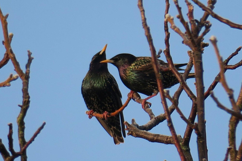 Špačci jsou krásně zbarvení ptáci, kteří jako by do naší přírody ani moc nepatřili. (Ledeč nad Sázavou 25.3.2017)