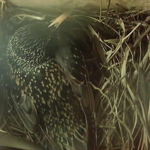 10.4.2017 Samička se chystá snést čtvrté vajíčko a dokončit tak snůšku.