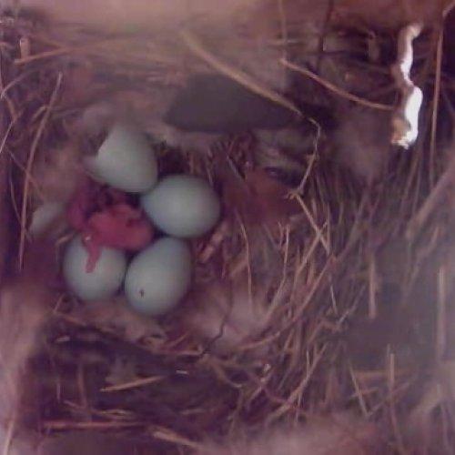 21.4.2017 Před polednem se vyklubalo první ptáče.
