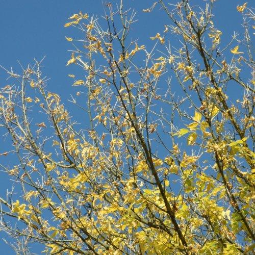 Javor jasanolistý se litů zbavuje pěkně systematicky od okraje koruny.