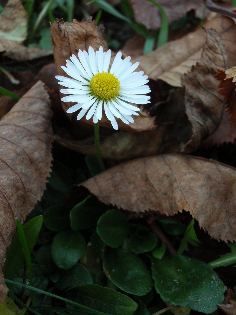 **Sedmikráska chudobka** vnašem trávníku, jakoby oblečená do slušivého župánku, neochvějně vyhlíží blížící se bílou peřinu.