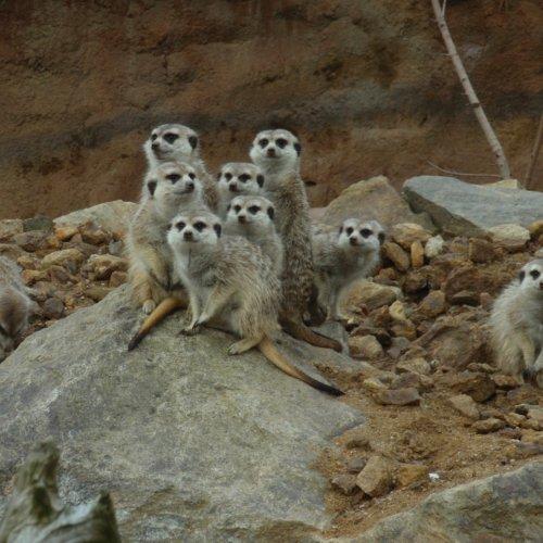 Čekání na besedu o funkci zoologických zahrad v dnešním světě v ZOO Jihlava nám zpříjemnila skupinka surikat. Nejprve s námi surikaty laškovaly přes sklo své vnitřní ubikace, poté se rozhodly vyrazit na čerstvý vzduch. Krátce nás pozdravily a opět zmizely do tepla.