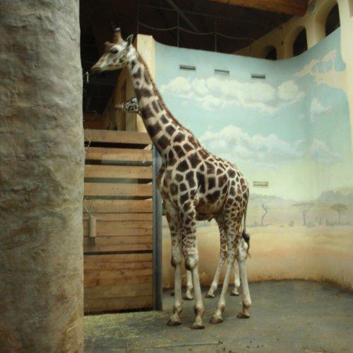Žirafí kluci se předváděli opravdu ve velkém stylu.