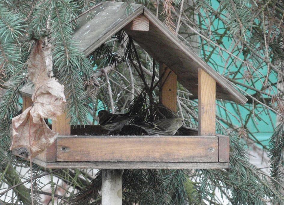 Zde stejné krmítko vizitují dvě samičky čížka lesního. (15.12.2015)