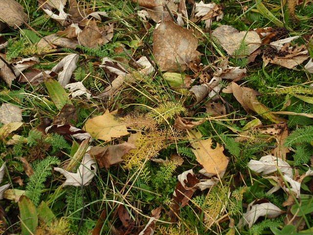 Sněhové srážky nepřinesl prosinec žádné, a tak trávníky zdobil kromě mechů různobarevný koberec jitrocele, žebříčku, travin a spadaných listů vrůzných odstínech zelené, žluté, oranžové ahnědé.