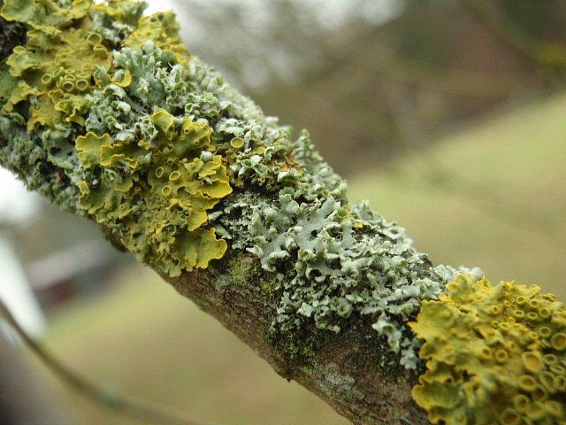 Ideální podmínky si také užívaly **lišejníky** na větvích našich stromů. Jde otzv. podvojné organismy vzniklé dokonalým soužitím houbového organismu a řasy nebo sinice. Houba chrání a dodává vodu, řasa či sinice fotosyntetizuje– vytváří pomocí slunečního záření cukry– a tím oba dva partnery živí. Tuto větev javoru stříbrného využívá coby svůj podklad šedá **terčovka bublinatá** (Hypogymnia physodes) a žlutý **terčovník** (Xanthoriasp.)