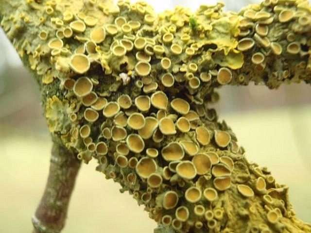 Okrouhlé mističky na stélce terčovníku jsou tzv. apothecia– zde dochází kmnožení vřeckovýtrusé houbové složky lišejníku.