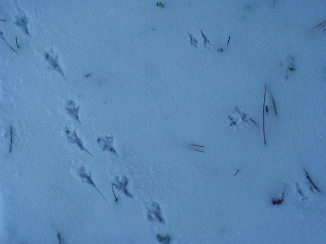 Jejich přítomnost dokládaly istopy, které ptačí nožky zanechávaly vsněhové pokrývce.