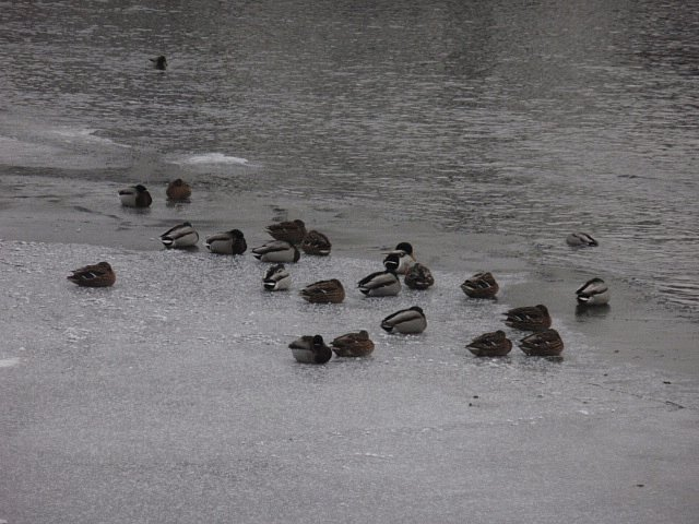 Vnejtužších mrazech často kachny jen seděly na ledě zabalené do úhledného balíčku, ze kterého nekoukal anizobák.