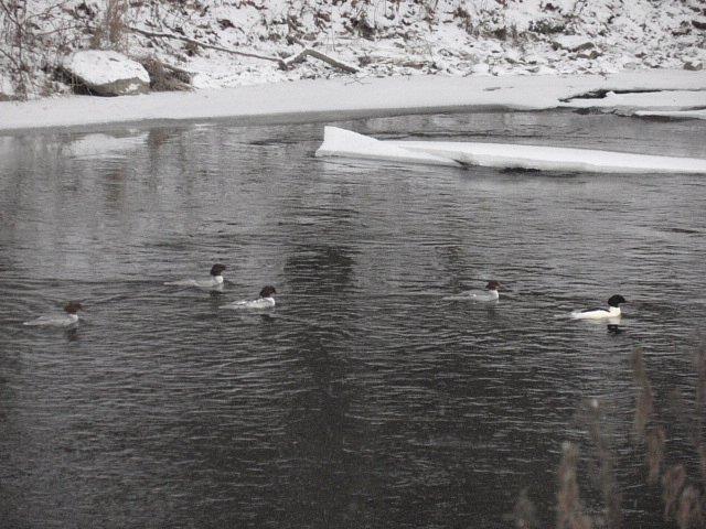 """Na řece vedle plotu našeho areálu jsme se také mohli setkat se vzácným návštěvníkem ze severu– protahujícím hejnem """"morčáků velkých"""":[nette:Article:,id=>871]."""