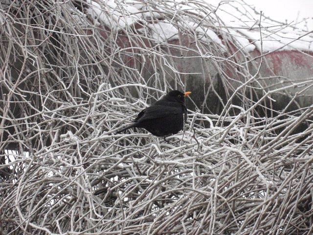 """Zjíním pokrytého živého plotu je lhostejně pozoroval """"kos černý"""":[nette:Article:,id=>860]."""