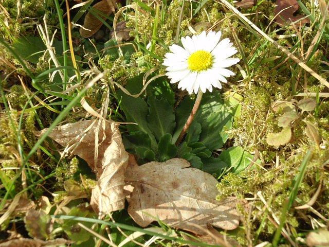 Zkvetoucích rostlin je zatím kzastižení pouze nezmar **sedmikráska chudobka**. Ta by zasloužila metál, protože vydržela kvést prakticky celou zimu. Kam se hrabou sněženky a bledule.