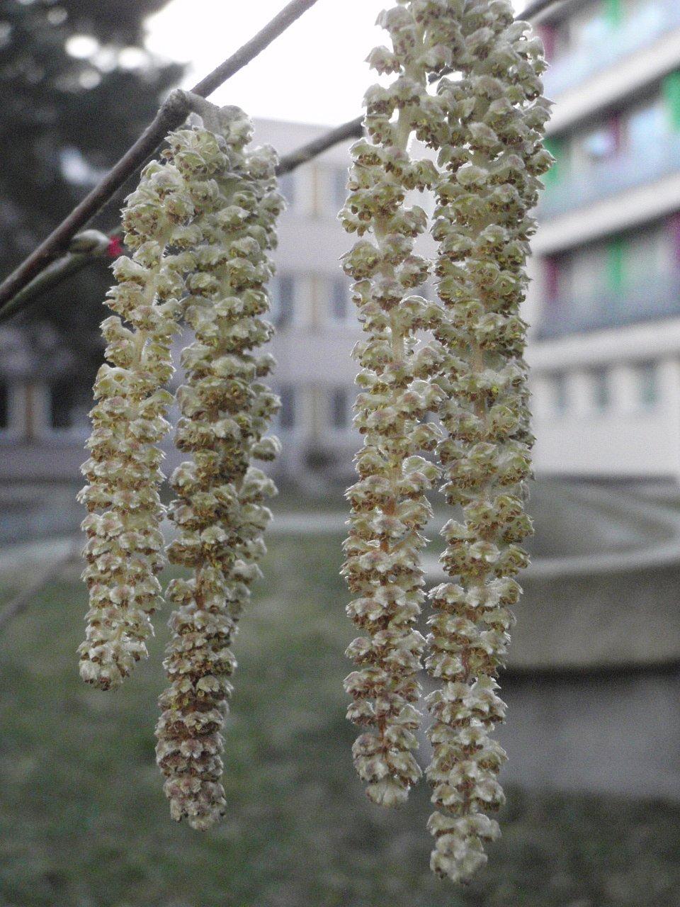 Jednopohlavní květenství lísky– dlouhé samčí jehnědy idrobné samičí květenství svyčnívajícími červenými bliznami dávaly tušit, že jaro již není daleko.