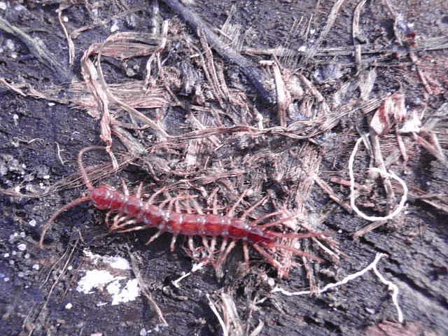 Vyrušená stonožka škvorová, jejíž jedinou snahou bylo dostat se někam do tmy a pokračovat vodpočinku.