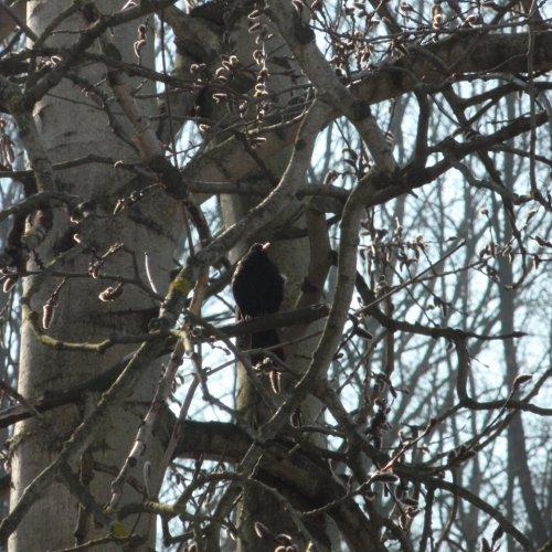 Na kontrolu situace na větev osiky dorazil kos černý.
