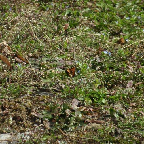 Probudil se také první letošní motýl– babočka kopřivová.