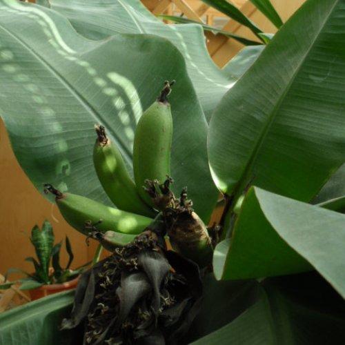 Banánový minitrs se urodil na banánovníku uškolního bufetu.